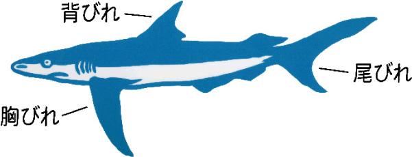 鮫とフカヒレ